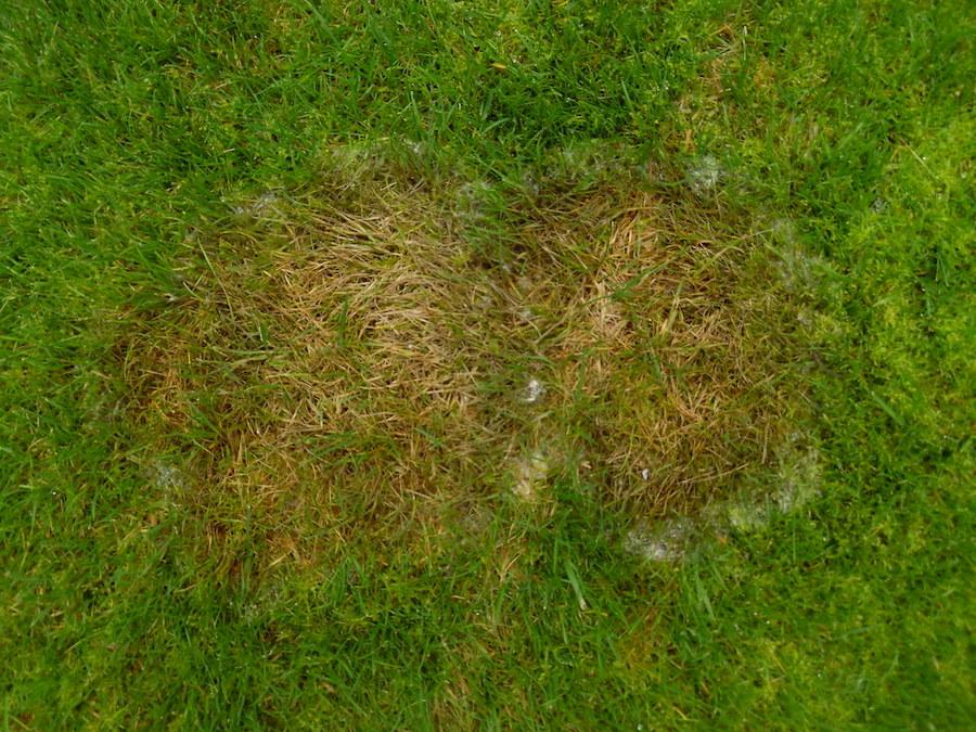 Fusariose froide maladie pelouse naturelle 66